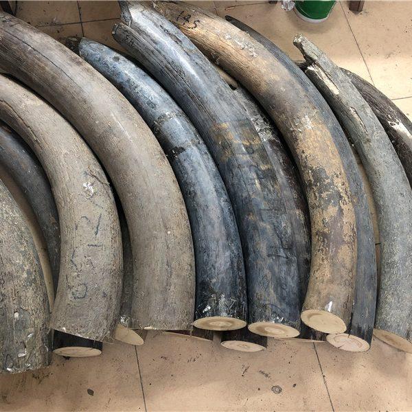 猛犸象牙原材料牙摆